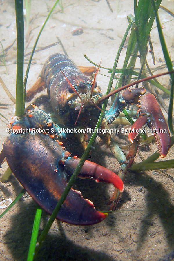 Northern lobster in eel grass habitat.