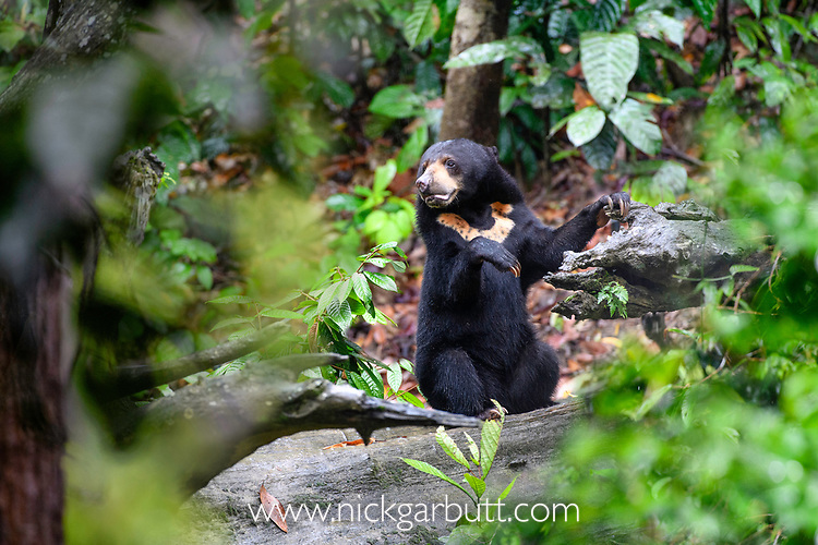 Bornean sun bear (Helarctos malayanus euryspilus) foraging on rainforest floor at Bornean Sun Bear Conservation Centre (BSBCC), Sepilok, Sabah, Borneo. The world's smallest bear species.