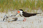Adult Black Skimmer (Rynchops niger) feeding a fish to a chick. Harrison County, Mississippi. July.