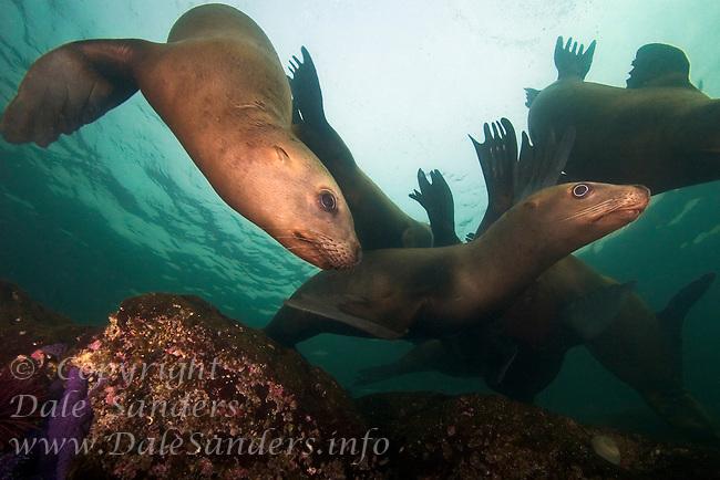 Curious Stellers Sea Lions (Eumetpias jubatus) underwater in the Strait of Georgia off Vancouver Island, British Columbia, Canada.