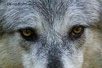 0823-1005  Gray Wolf (Grey Wolf), Canis lupus  © David Kuhn/Dwight Kuhn Photography