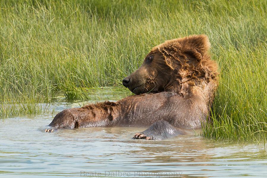 A male Alaskan brown bear is taking a bath in a tidal slough in Lake Clark National Park, Alaska