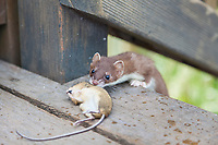 Short-tailed weasel sniffs a rodent recently killed, Katmai National park, southwest, Alaska.