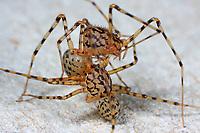 Speispinne, Spei-Spinne, Paarung, Kopulation, Kopula, Scytodes thoracica, spitting spider, pairing, Speispinnen, Scytodidae