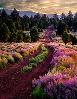 Lupine lined road. Near Lakeview, Oregon