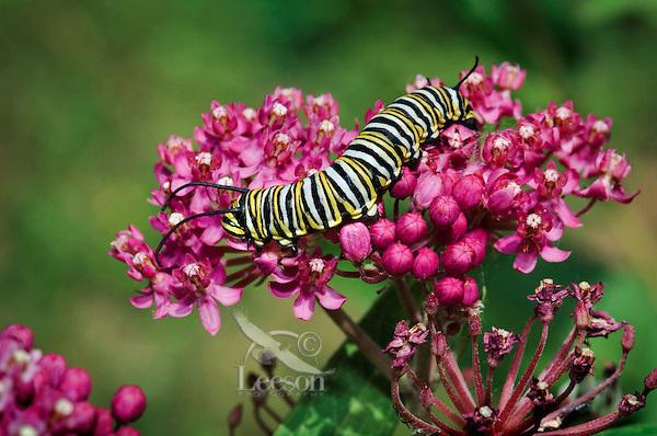MONARCH BUTTERFLY (Danaus plexippus)..4th Instar feeding on Miilkweed (Asclepias incarnata) blossoms..Milkweed is only food monarch caterpillars will eat. .Summer. Nova Scotia, Canada.