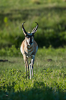 We were fortunate to capture this healthy, young make Pronghorn (Antilocapra americana) strolling across a meadow, in casual pursuit of a lovely female on the other side of the road.  Custer State Park, The Black Hills, South Dakota.