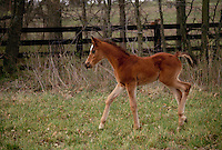 foal stepping dainily through the paddock, Midwest USA