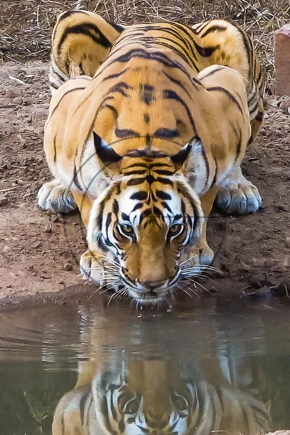 Asia,India,Madhya Pradesh,Bandhavgarh National Park, adult female drinking Tiger