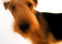 Blurred motion shot of an Airdale dog, head and shoulders, big-nosed.