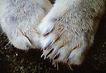 Polar bear paws, Arctic Canada