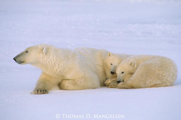 Two polar bear cubs sleep snuggled against their mother in Churchill, Manitoba, Canada.