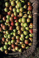 Europe/France/Normandie/Basse-Normandie/61/Orne/L'Hermitière : Dominique Plessis récolte ses pommes dans ses vergers - Cidrerie traditionnelle du Perche