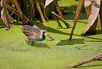 Sora standing in duckweed in Florida