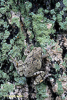 FR10-050z  Gray Tree Frog - clinging to lichen covered tree, camouflaged - Hyla versicolor