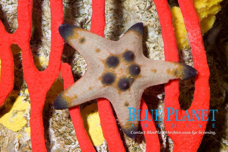 Knobbly Sea Star ( Protoreaster nodosus ) ( c ) Also known as the Nodular Sea Star, Horned Sea Star, Chocolate Chip Sea Star.