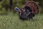 Tom turkey gobbling in northern Wisconsin.