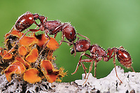 Red Harvester Ant (Pogonomyrmex barbatus), ants greeting, Laredo, Webb County, Texas, USA