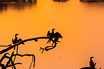 Cormorants drying at sunset on water