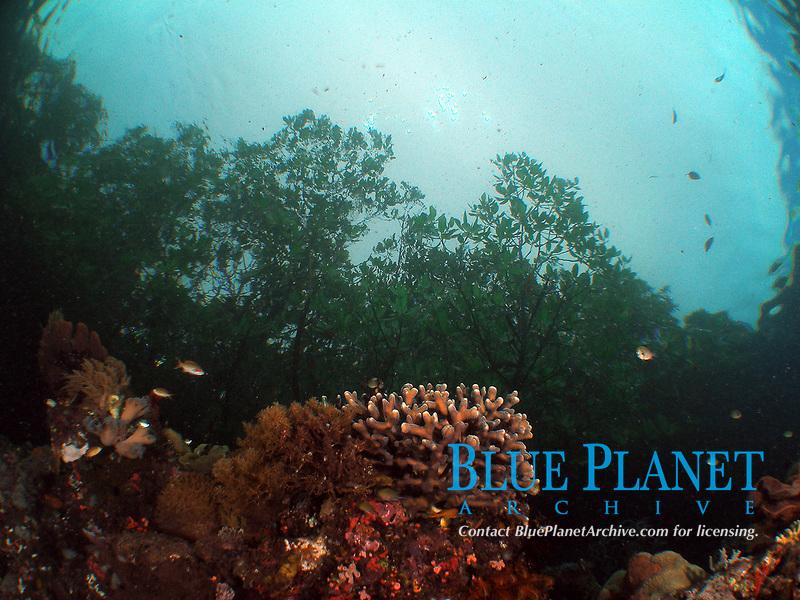 Seascape Reef to Mangroves, Raja Ampat, Indonesia, Coral Reef