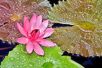 Tropical red waterlily. Hughes Water Garden, Tualatin, Oregon