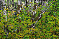 Sol Duc Forest 3 (John Chao 10/11/09)