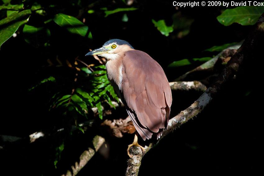 Nankeen Night Heron, Daintree River, Queensland, Australia