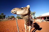 Riding Camels near Uluru in the Red Centre, Australia