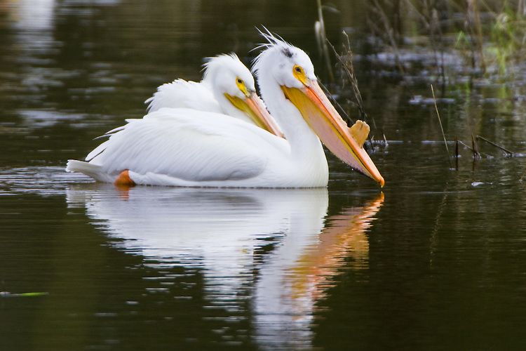 American White Pelican Couple swimming on a beaver pond