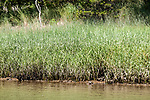 smooth cordgrass near waters edge at low tide in cape cod salt marsh