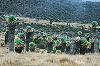 Giant Groundsel (Senecio brassica), Mount Kilimanjaro, Tanzania, Africa