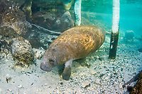 Florida Manatee, Trichechus manatus latirostris, A subspecies of the West Indian Manatee. Manatees pass pylons in search of the warmer waters of Three Sisters Springs. Cystal River, Florida.