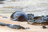 a recently weaned 5-week-old Hawaiian monk seal pup, Neomonachus schauinslandi, comes ashore after playing in shallow water close to the beach, Critically Endangered endemic species, Larsen's Beach, Moloa'a, Kauai, USA, Pacific Ocean
