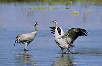 Kranich, Grus grus, common crane