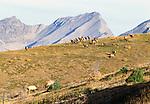 Elk bulls fight over cows, Mt. Assiniboine Provincial Park, British Columbia, Canada
