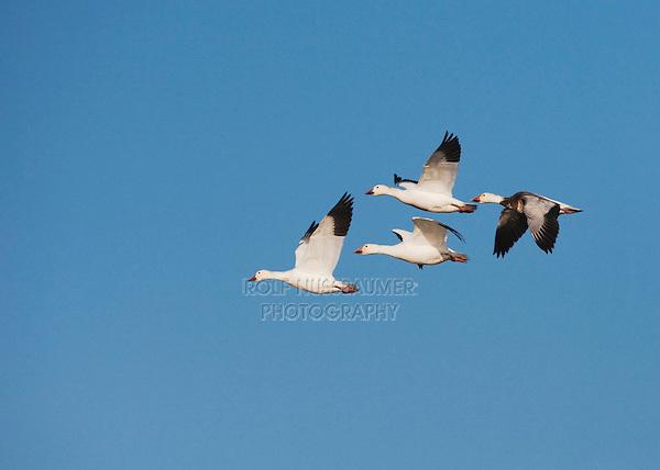 Snow Goose (Chen caerulescens), group in flight, Sinton, Corpus Christi, Coastal Bend, Texas, USA