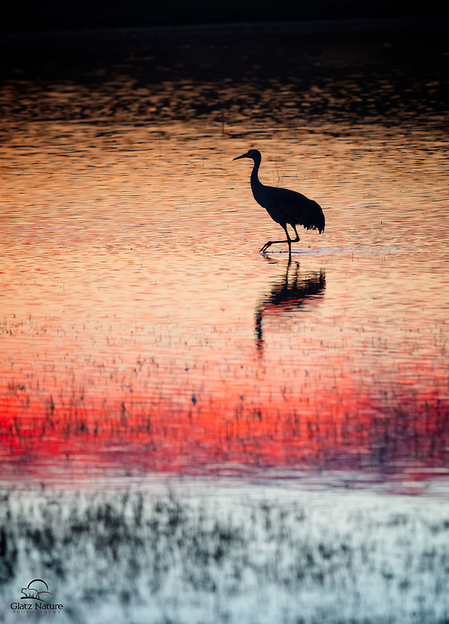 Some of the most beautiful sunsets we've ever seen at Bosque del Apache National Wildlife Refuge in New Mexico. Here a single Sandhill Crane (Grus canadensis) strolls across the calm pond, which is reflecting the gorgeous light and sky.<br />  <br /> Bosque del Apache NWR, New Mexico.