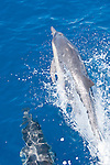 San Diego, California; a pair of Common Dolphins (Delphinus delphis) swimming alongside a boat and riding in it's bow wake, one is leaping out of the water or porpoising