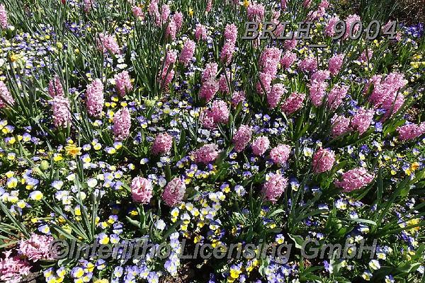 Luiz, FLOWERS, BLUMEN, FLORES, photos+++++,BRLH9004,#f#, EVERYDAY ,tulips ,allover