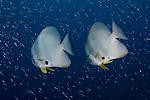 A pair of longfin spadefish or batfish, Platax teira, Raja Ampat, West Papua, Indonesia, Pacific Ocean