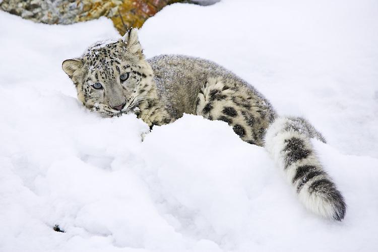 Snow Leopard lying on a snowy hillside - CA