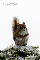 MA07-500z  Red Squirrel, in winter, Tamiasciurus hudsonicus