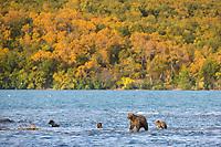 Brown bear sow and triplet spring cubs in Naknek lake, Katmai National Park, Alaska.