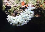 Lettuce Sea Slug grazing on reef