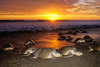 female olive ridley sea turtles, Lepidochelys olivacea, come ashore at sunset to nest during arribada ( mass nesting ) Ostional, Costa Rica, Pacific Ocean