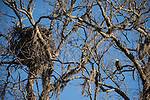 Brazoria County, Damon, Texas; an adult bald eagle perched near it's nest on a branch of a large, live oak tree in early morning sunlight against a clear blue sky