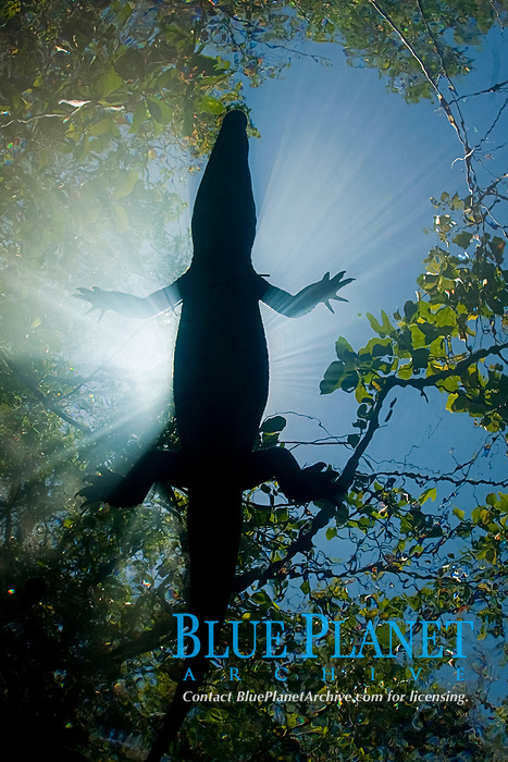 Morelet's crocodile, Central American crocodile, Mexican crocodile, or Belize, Caribbean, Atlantic crocodile, Crocodylus moreletii, resting on surface of cenote, or freshwater spring, near Tulum, Yucatan Peninsula, Mexico, Caribbean, Atlantic