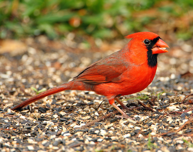 Male northern cardinal completing molt to adult plumage in December