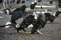 Two bald eagles fight over food.  Alaska.  Stealing food from one another is a common event where eagles congregate in winter.