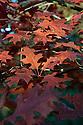 Autumn foliage of Scarlet oak (Quercus coccinea), early November.